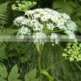 Angelica Root Chinese Medicine Essential Oil