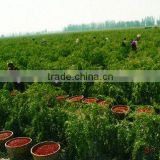 Wholesale goji berries The best goji from hometown of goji Ningxia the place where to find goji berries