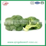 hot sale fresh broccoli for sale 800-900g/pc