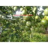 Sell Fresh Passion Fruit