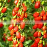 Chinese wolfberry Or Seeds from the hometown of goji berries Ningxia goji berry growing base We have all goji products