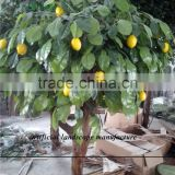 SJZJN 034 High Imitation Aritificial Lemon Tree Made in China Fashion Artificial Tree