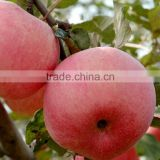 2015 new crop fresh apple, sweet red apple fruit venturia inaequalis apple form shanxi of china