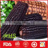 Top quality purple corn for export