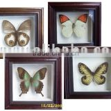 Dry Framed Butterfly