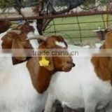 Boar Goat and Saanen Goat available..