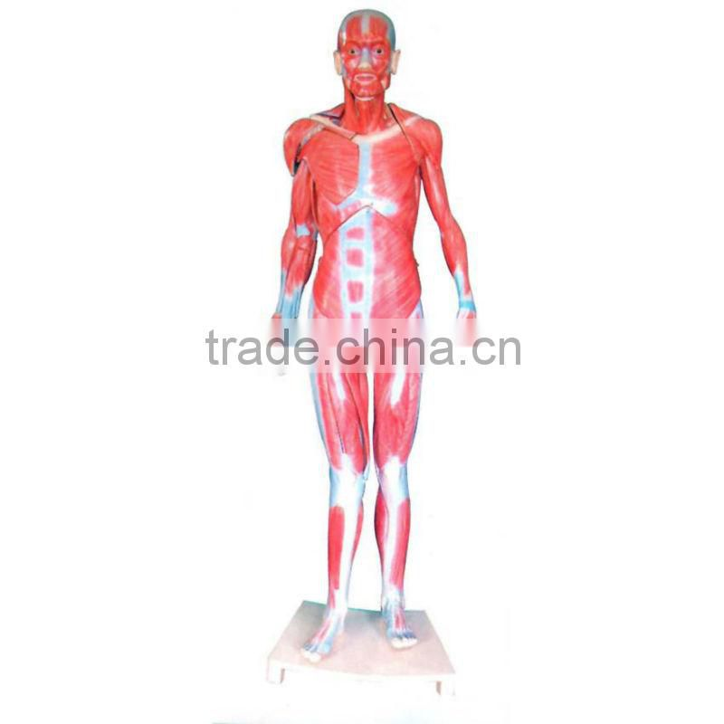 Human Whole Body Muscular Model 80cm(Life Size)