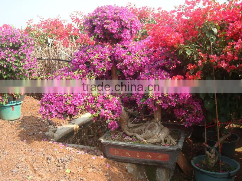 shaped and colors plants Bougainvillea spectabilis, paperflowers, young plants