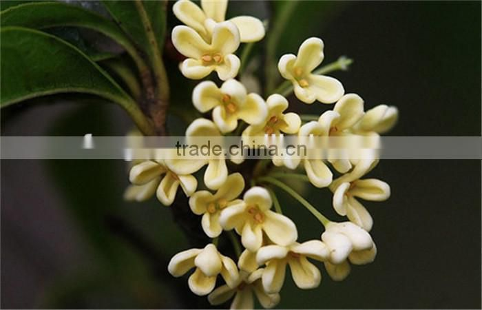 100% Pure Natural Osmanthus Flower Fragrance Essential Oil