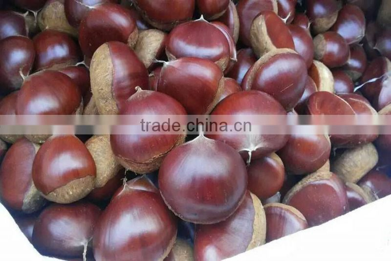frozen raw chestnut in shell at low price for sale