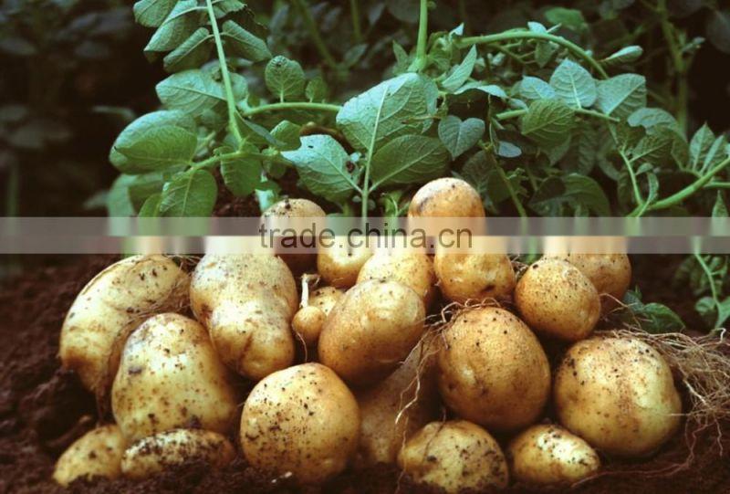 Cheap Fresh Potato for Potato Importer in Malaysia of potato