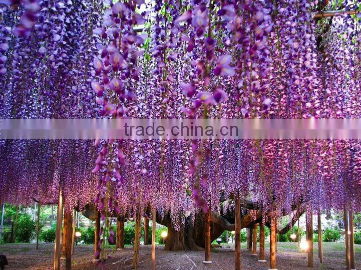 2016 New Beautiful Flower Trees Seeds Chinese Wisteria Seeds For