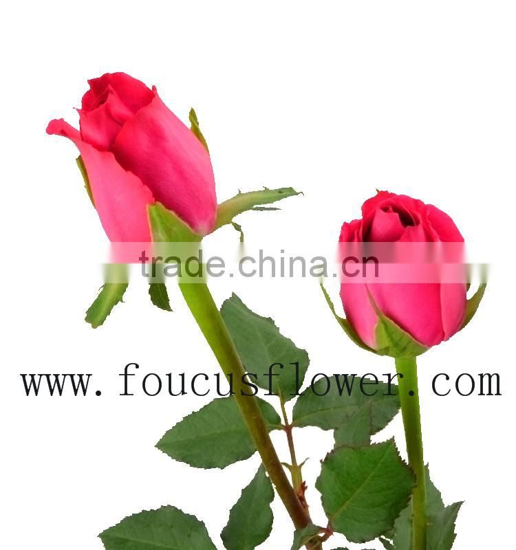 A Grade High Quality Fresh Cut Flowers White Roses For Sale
