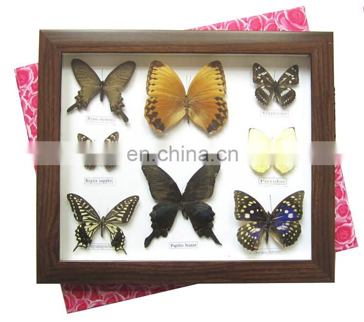 Dried real frame real butterfly