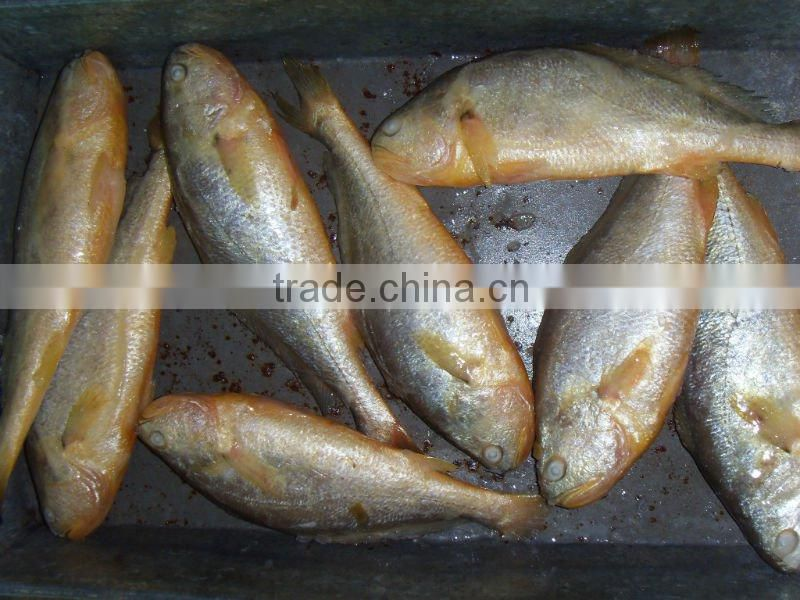 China Seafood companies Frozen Fish Yellow Croaker of Yellow