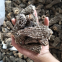 Factory Price Premium Quality Chinese Wild Dried Morel Mushroom/Morchella esculenta without fully stem (4-6CM)