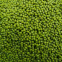 Green Vigna Beans Green mung beans of China Origin for good quality