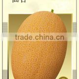 Hybrid F1 Golden Yellow Sweet Hami Melon Seeds Japanese Cantaloupe Melon Seeds-High Mountain No.1