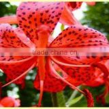 Chinese Herb Medicines Dried Lily Bulb