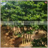 medium size shaped outdoor bonsai plants of Ficus Microcarpa 5 pcs trees Shaped Combination Ficus