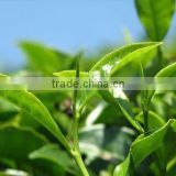 green tea polyphenols capsules / green tea powdered extract / 20%~98% natural L-theanine green tea extract