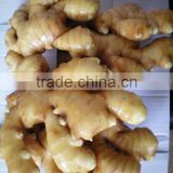 GAP Fresh Yellow Ginger Root for USA Market