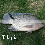 Frozen Tilapia Fish Factory, Black Tilapia Whole Round 100-200g, 200-300g,300-500g,500-800g
