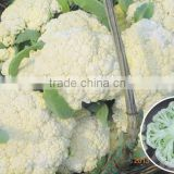 Hybrid cauliflower seeds for growing-Silver 65