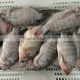 High quality frozen Tilapia whole round 800g+