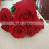 Big bud flower fresh red rose flower export for Valentines Day gifts