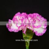 Home Decor Good Quality Carnation Cut Flower Prices Factory Directly Sell Purple Fresh Cut Carnation Flower