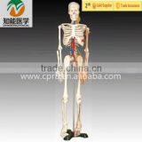 High Quality Human Skeleton Model with Heart and Blood Vessel