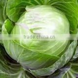 VIETNAM FRESH CABBAGE