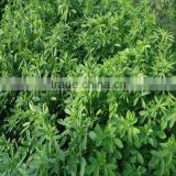 top yield grass seed alfalfa for sale with competitive price