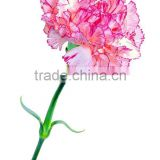 Fresh cut carnation flower