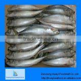 pacific jack mackerel