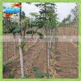 Big green bamboo pole for decoration