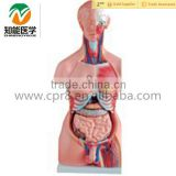 INquiry about Human Anatomical male/female torso model with organ