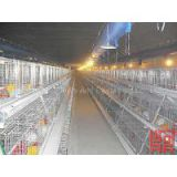 Automatic Pullet Chicken Cage