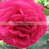 high quality if Paeonia lactiflora Pall extract powder,white peony root P.E. 10%-98% Paeoniflorin