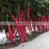 Hybrid green red chilli pepper seeds for sale 7303