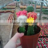 Indoor and Potted colours and grafted mini Cactus bonsai from professiona nurseries