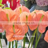 Best Anthurium Price Fresh Flower Hot Sale Anthuriums Plants From Wholesale Trading Companies