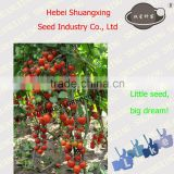 Early maturity red Cherry Tomato Seed