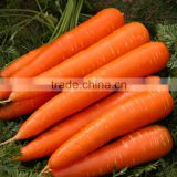 Fresh/ Frozen/ IQF Carrot