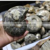 natural snail fossils ammonite fossils for sale decoration