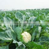 Snow hybrid cauliflower seed