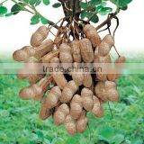 fresh peanut kernels for sale
