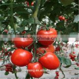 hybrid tomato F1 seeds fresh tomato greenhouse tomato seed hybrid seed production tomato