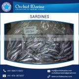 Good Quality Frozen Sardine Fish BQF direct from Factory